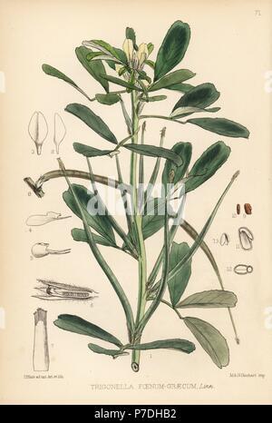 Fenugreek, Trigonella foenum-graecum. Handcoloured lithograph by Hanhart after a botanical illustration by David Blair from Robert Bentley and Henry Trimen's Medicinal Plants, London, 1880. - Stock Photo