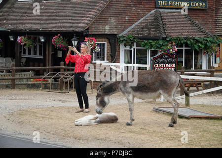 4th July, 2018   Godshill, Hampshire, UK.  Tourist takes photos of the iconic New Forest 'ponies' and donkeys at their favourite haunt outside the Fig - Stock Photo