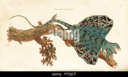 Flying dragon, Draco volans. Handcoloured copperplate engraving by Heath after an illustration by George Shaw from his General Zoology, Amphibia, London, 1801. - Stock Photo