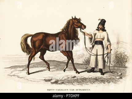 Hungarian warmblood horse, Equus caballus var. hungaricus, with Hungarian man. Handcoloured lithograph from Georg Friedrich Treitschke's Gallery of Natural History, Naturhistorischer Bildersaal des Thierreiches, Liepzig, 1840. - Stock Photo