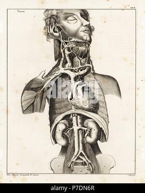 Anatomy of the human venal system in the upper torso. Lithograph by C. Mayer from Lorenz Oken's Universal Natural History, Allgemeine Naturgeschichte fur alle Stande, Stuttgart, 1839. - Stock Photo