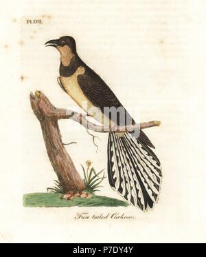Fan-tailed cuckoo, Cacomantis flabelliformis (Fan-tailed cuckow, Cuculus flabelliformis). Handcoloured copperplate drawn and engraved by John Latham from his own A General History of Birds, Winchester, 1822. - Stock Photo