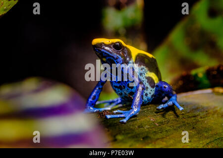 The dyeing dart frog, tinc (a nickname given by those in the hobby of keeping dart frogs), or dyeing poison frog (Dendrobates tinctorius) is a species - Stock Photo