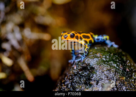 Mimic Poison Frog, Ranitomeya imitator Jeberos is a species of poison dart frog found in the north-central region of eastern Peru.  Its common name in - Stock Photo