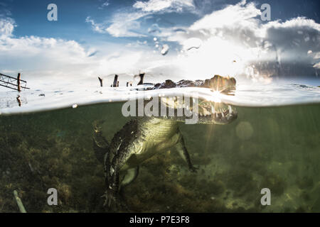 American crocodile (crocodylus acutus) in shallows, Chinchorro Banks, Xcalak, Quintana Roo, Mexico - Stock Photo