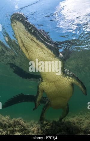 American crocodile (crocodylus acutus) in shallows, low angle view, Chinchorro Banks, Xcalak, Quintana Roo, Mexico - Stock Photo