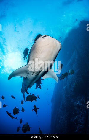 Whale shark swimming close to rock pinnacle, Colima, Mexico - Stock Photo