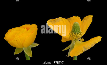 Detailed fine art still life color macro flower front view portrait  of pair of old and young yellow blooming buttercup blossoms with buds and leaves - Stock Photo