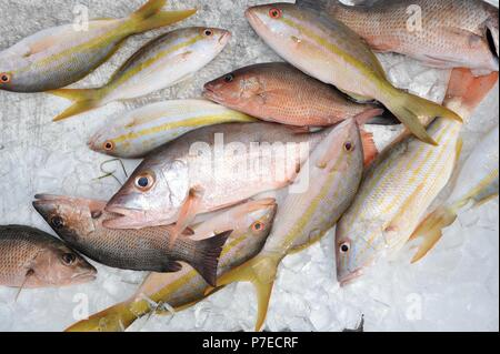 Fresh-caught, saltwater yellow tail and red snapper fish on ice, Marathon Key, Florida, USA - Stock Photo