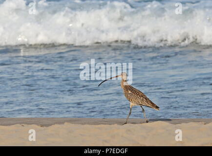 Far Eastern Curlew (Numenius madagascariensis) adult walking on beach  Yehliu Peninsula, Taiwan                         April - Stock Photo