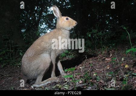 Irish Hare - Stock Photo