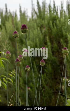 Poppy seed heads on long stems in a field with poppy and thistles. - Stock Photo