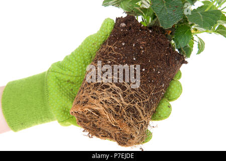 Gloved hand holding potted yellow lantana flower plant, rootbound. Root bound refers to plants roots growing round and round the pot, which halts grow - Stock Photo