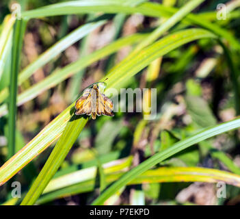 Large Skipper butterfly (Ochlodes venatus) on reeds in Combe Haven valley, East Sussex, England - Stock Photo