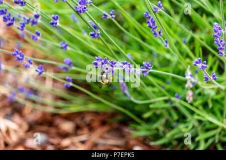 smal lavender plant in soil - Stock Photo