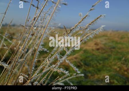 Hoar frost on long grass - Warwickshire, UK - Stock Photo
