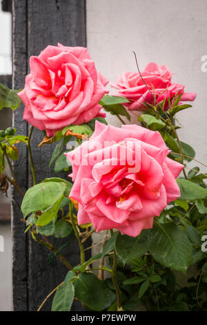 Climbing rose Leaping Salmon flowering in an English garden in May - Stock Photo