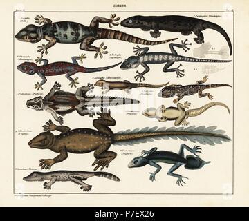 Stellion, Stellagama stellio, turnip-tailed gecko, Thecadactylus rapicauda, gecko, Hemidactylus species, flying gecko, Ptychozoon horsfieldii, Lichtenstein's short-fingered gecko, Stenodactylus sthenodactylus, flat-tail gecko, Hemidactylus platyurus, leaf-tail gecko, Uroplatus fimbriatus, Rhacoessa species, and southern leaf-tail gecko, Phyllurus platurus. Lithograph from Lorenz Oken's Universal Natural History, Allgemeine Naturgeschichte fur alle Stande, Stuttgart, 1841. - Stock Photo