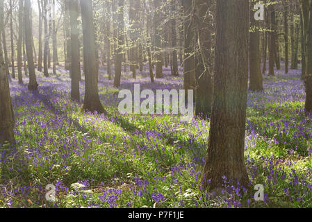 Bluebells in the woods, Ashridge, Chilterns, UK - Stock Photo