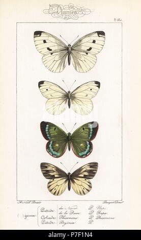 Green-veined white, Pieris napi, small white, Pieris rapae, mountain clouded yellow, Colias phicomone, and dark-veined white, Pieris bryoniae. Handcoloured steel engraving by the Pauquet brothers after an illustration by Alexis Nicolas Noel from Hippolyte Lucas' Natural History of European Butterflies, Histoire Naturelle des Lepidopteres d'Europe, 1864. - Stock Photo