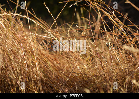Presence, contentment, and calmness: Tall grass resting in wind during sunrise near campsite and trailhead in California. - Stock Photo