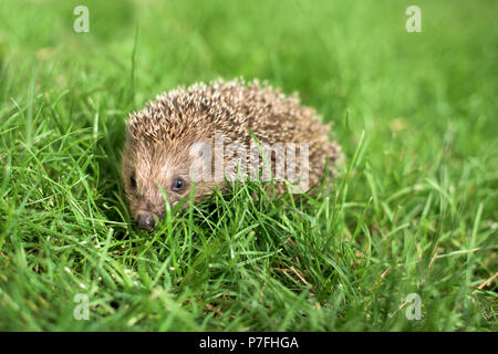 Small hedgehog in a garden, looking at camera - Stock Photo
