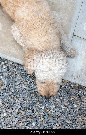 Apricot Labradoodle lying down on a patio - Stock Photo