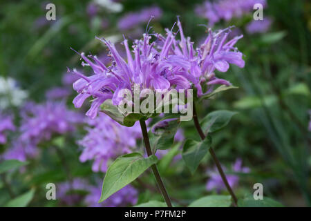 wild bergamot (bee-balm), Glacier National Park - Stock Photo