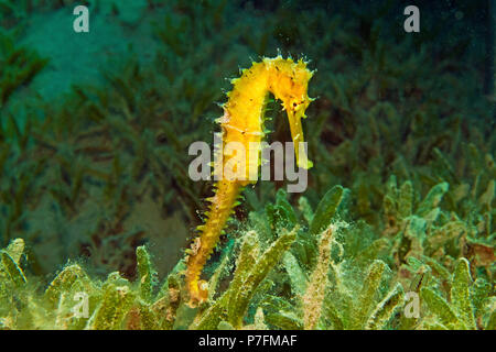Jayakar's Seahorse (Hippocampus jayakari) in sea grass, Marsa Alam, Red Sea, Egypt - Stock Photo