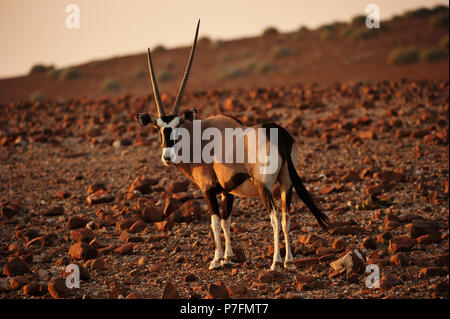 Oryx antelope (Oryx) marches through the barren scree landscape in the evening sun, Kunene, Namibia - Stock Photo