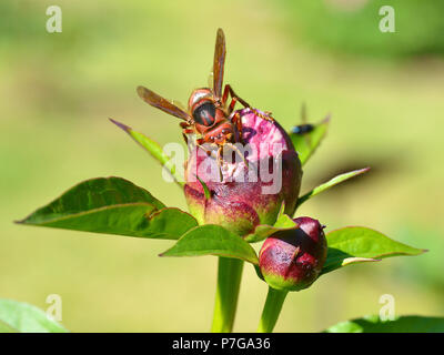 Closeup European hornet (Vespa crabro) on bud of peony flower seen from the front - Stock Photo