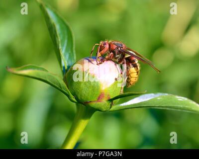 Closeup European hornet (Vespa crabro) on bud of peony flower seen from profile - Stock Photo
