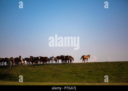 Herd of horses standing on green pasture under blue sky. Grazing in horse farm. - Stock Photo
