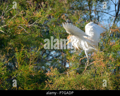 Cattle egret (Bubulcus ibis) in tree, open wings, in the Camargue is a natural region located south of Arles, France, between the Mediterranean Sea an - Stock Photo