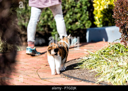 Back of curious calico cat outside, outdoors, standing in garden, in front or back yard of home or house with owner, person, woman walking paved path  - Stock Photo