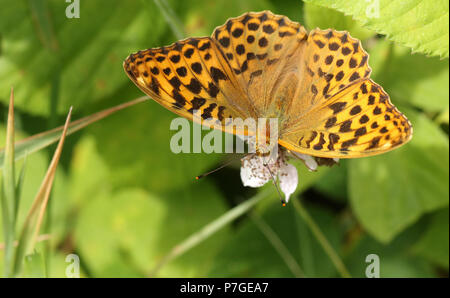 A stunning Silver-washed Fritillary Butterfly (Argynnis paphia) nectaring on a blackberry flower in woodland. - Stock Photo