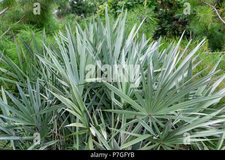 Silver saw palmetto (serenoa repens) plant palm leaves - Davie, Florida, USA - Stock Photo