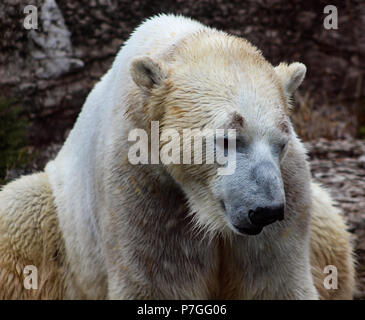 The head of a thoughtful and cute sweet polar bear. Caged in a ZOO or outside outdoor in the wilderness. Looking to the right or left and thinking. Sad expression. Worried and white. - Stock Photo