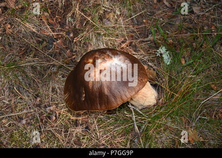 Pilz Schwammerl - Stock Photo
