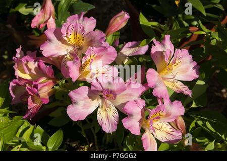 A large bouquet of pink alstroemeria flowers in the garden - Stock Photo
