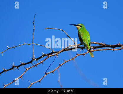 Little Green Bee-eater  bird sitting on branch with thorns, blue sky as background - Stock Photo