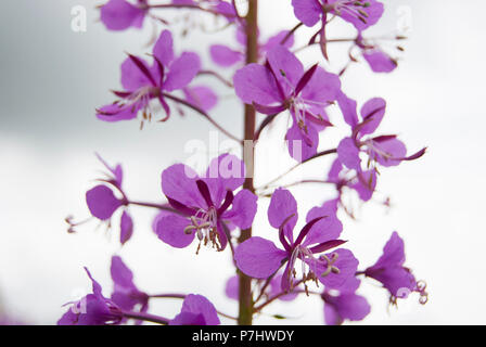 The flower of the chamaenerion. Pink inflorescence of ivan-tea. - Stock Photo