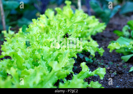 Close-up view of a row of lettuces growing in a garden in summer in Wales UK  KATHY DEWITT - Stock Photo