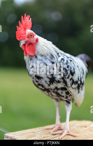 A speckled barnyard chicken stands on a fence post. - Stock Photo