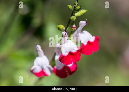 The flowers of a sage 'Hot Lips' (Salvia 'Hot Lips') - Stock Photo