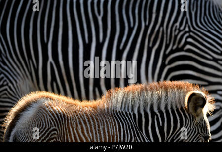 Grévy's zebra, Equus grevyi, captive, juvenile in front of adult, Baden-Wuerttemberg, Germany - Stock Photo