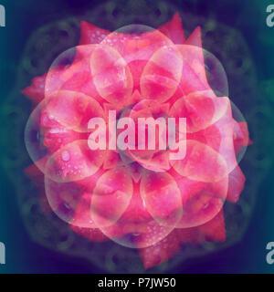 Photographic flower mandala, pink, - Stock Photo