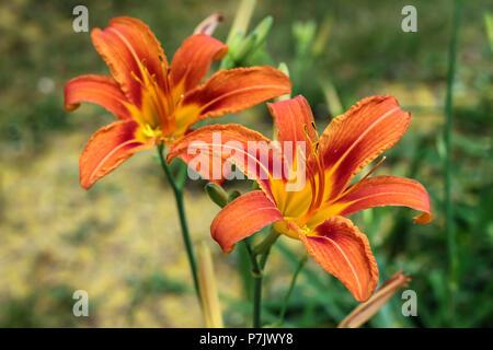 Two orange flowers of daylily Hemerocallis fluva - Stock Photo