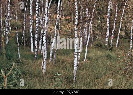 Austria, Salzburger Land, Pinzgau, Mittersill, moor birches in Wasenmoos at Pass Thurn - Stock Photo