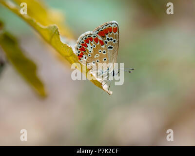 Brown Argus butteffly, Aricia agestis. - Stock Photo